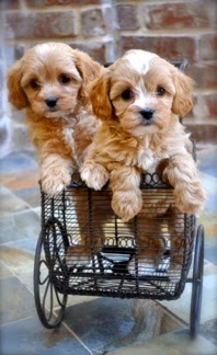 This has to be the cutest dog breed ever Maybe I'll have one of these after the golden doodle