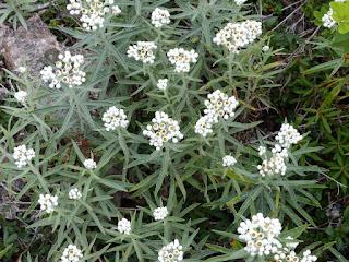 Immortelle blanche - Anaphalis margaritacea