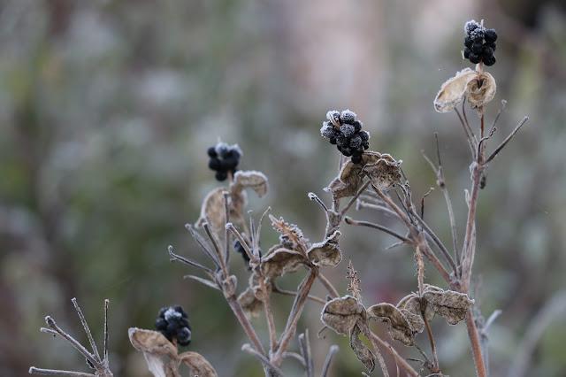 graines du belamcanda