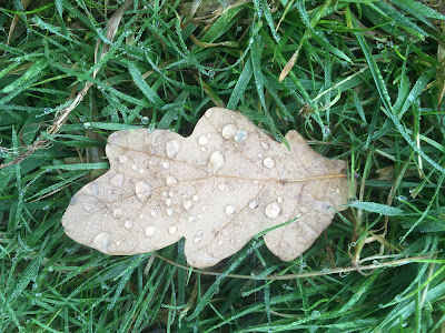 photo shows a single brown oak leaf, lying on grass. There are several large drops of water on the leaf