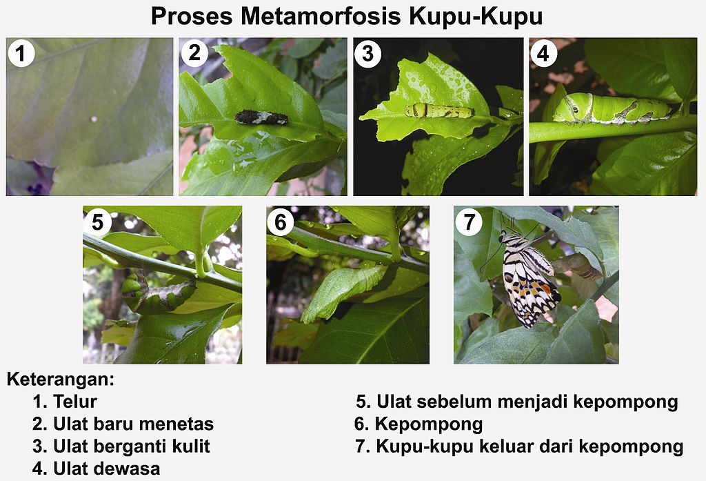 Siklus hidup kupu-kupu