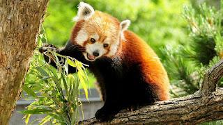 International Red Panda Day 2021: Facts about Red Panda