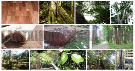 gambar pohon merbau, ciri dan sifat kayu merbau, kegunaan kayu merbau