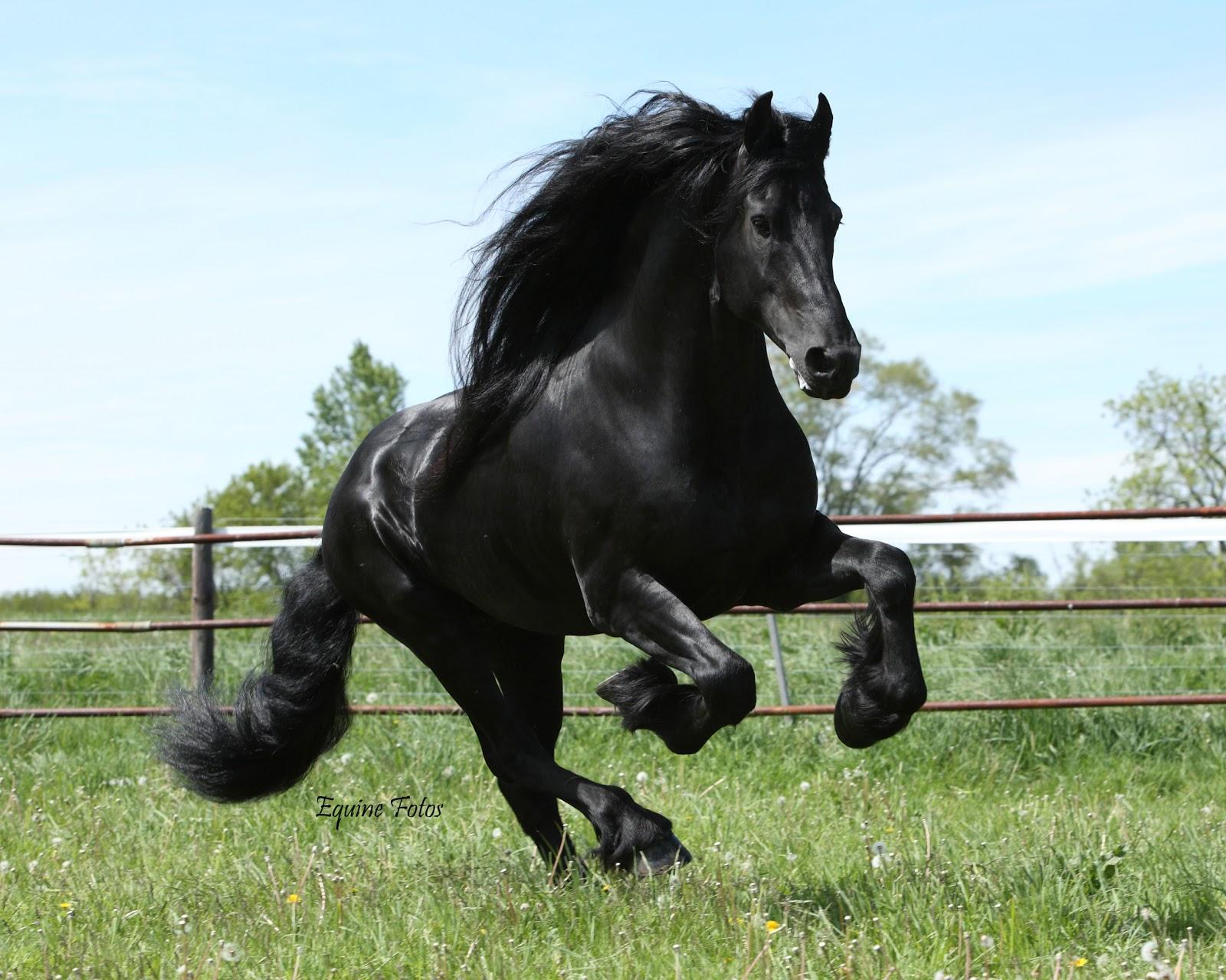 Friesian Horse Running In Yellow Flowers On Pasturage ...  |Friesian Horses Running