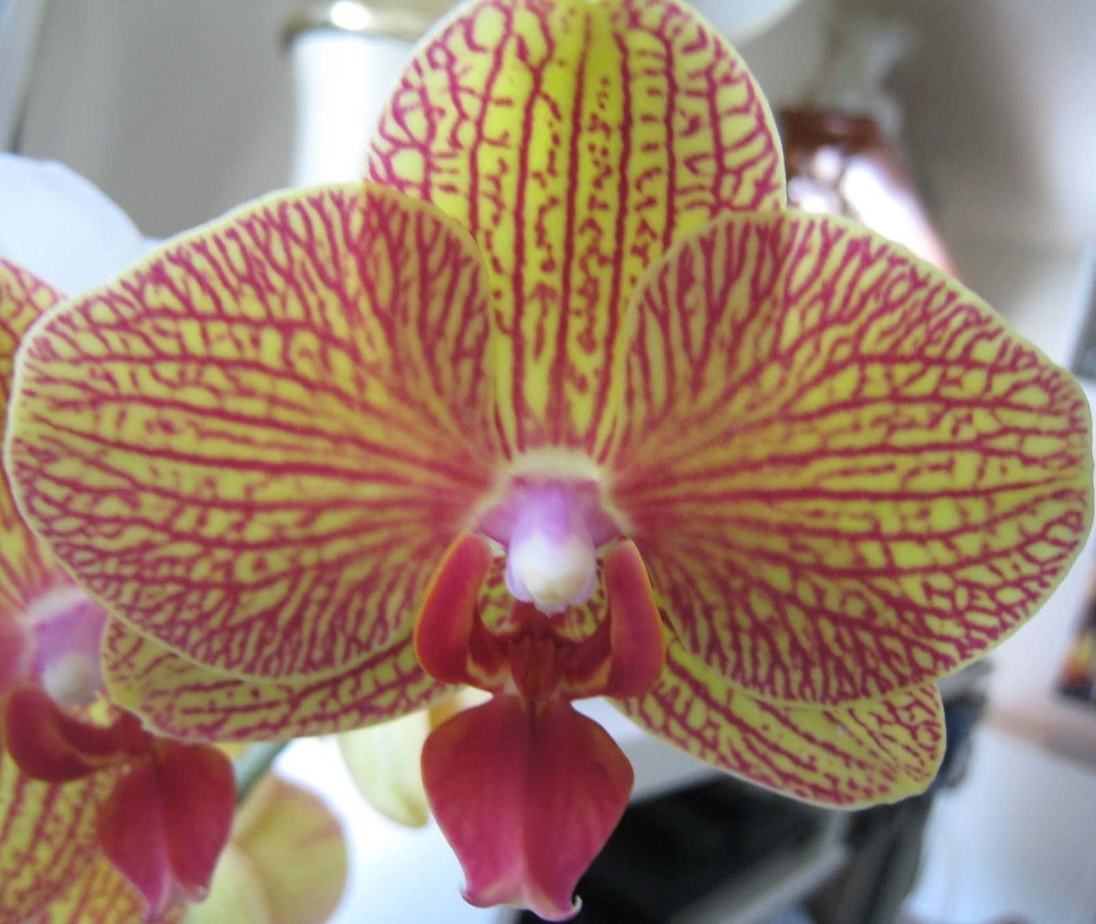 Orchid Beginner Basics Phalaenopsis Orchid Care