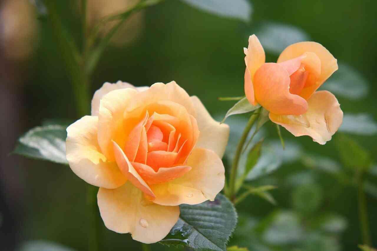 مجموعة صور ورد وزهور جديدة