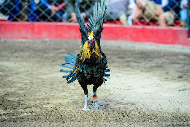Ayam Peruvian, Ayam Peru, Sabung Ayam