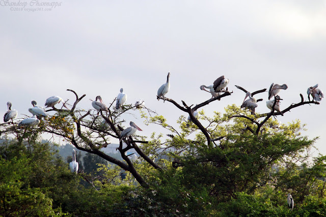 Spot-billed Pelicans resting on one of the islands