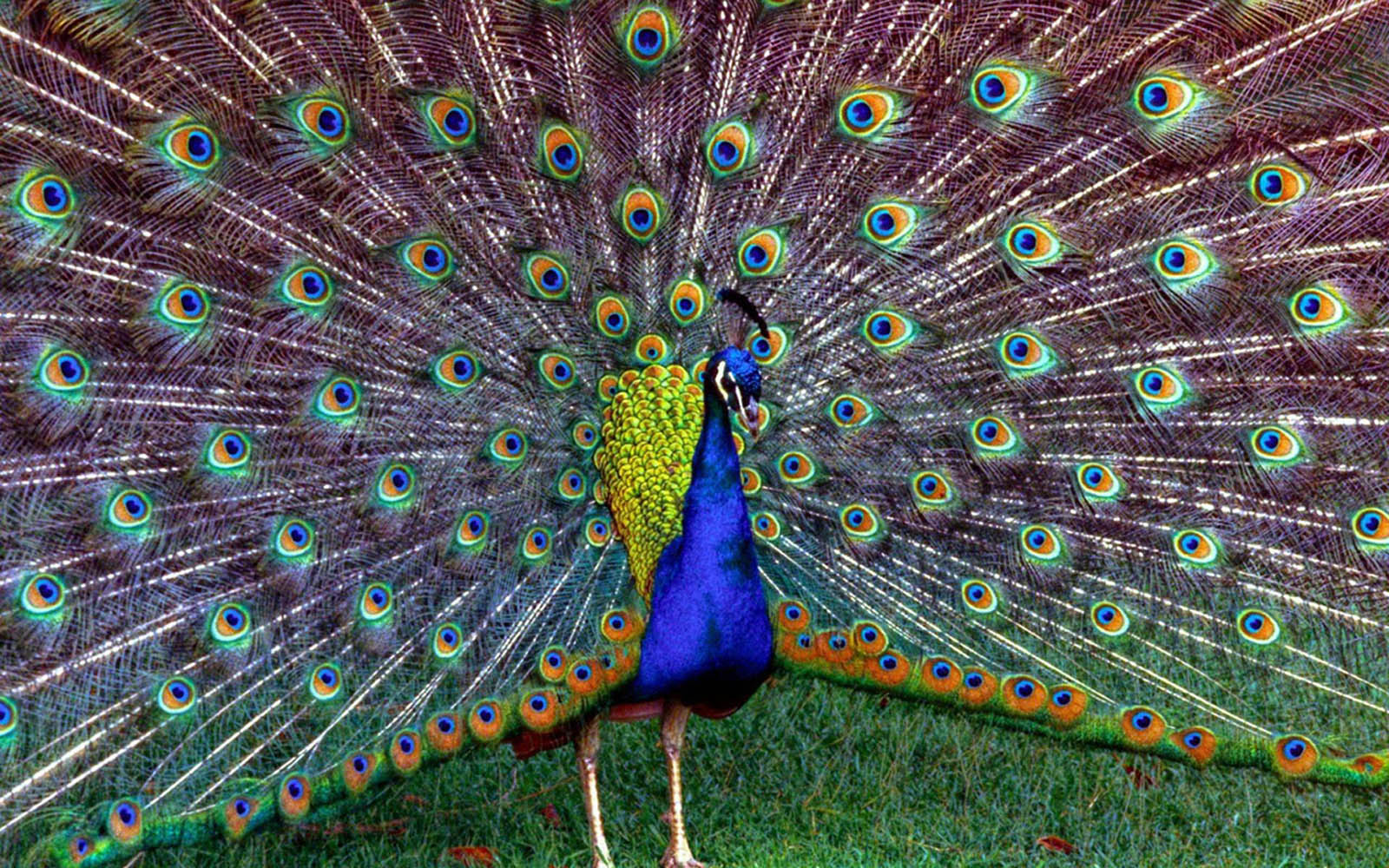 Wallpaper: Peacock Wallpapers