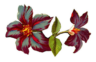 flower clematis illustration jackmanii