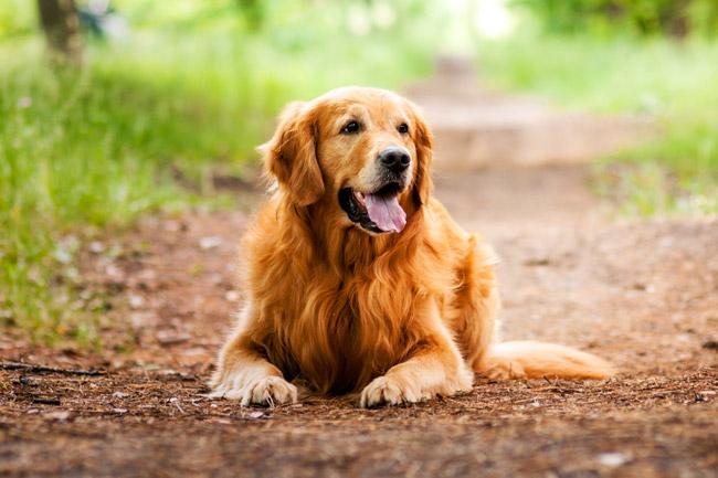 Jak chronić psa w lecie przed pchłami?