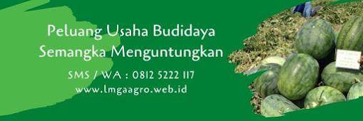 tanam semangka, semangka kuning, semangka pataya f1, inul, jual benih semangka inul, toko pertanian, toko online, lmga agro