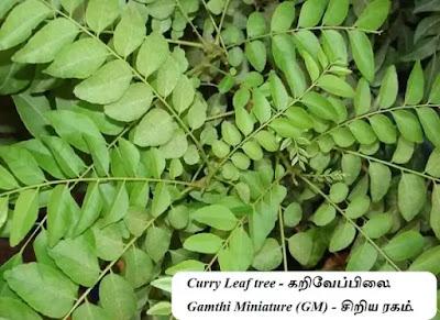 Curry Leaf - Gamthi Miniature (GM)