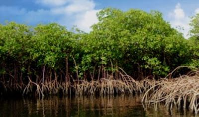 Hutan Bakau Kritis, UMRAH Kepri dan BRGM RI akan Bangun Wisata Mangrove