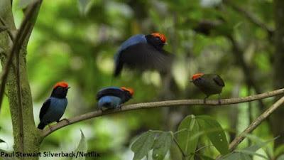 Tangará dançarino, pássaro que dança, tangará, observação de aves, aves do brasil, wikiaves, birds, biologia, birdwatching, nature, meio ambiente,  passaros do brasil