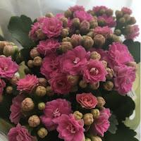 Pink Gypsophila plant