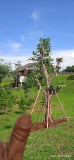 Pohon bodih