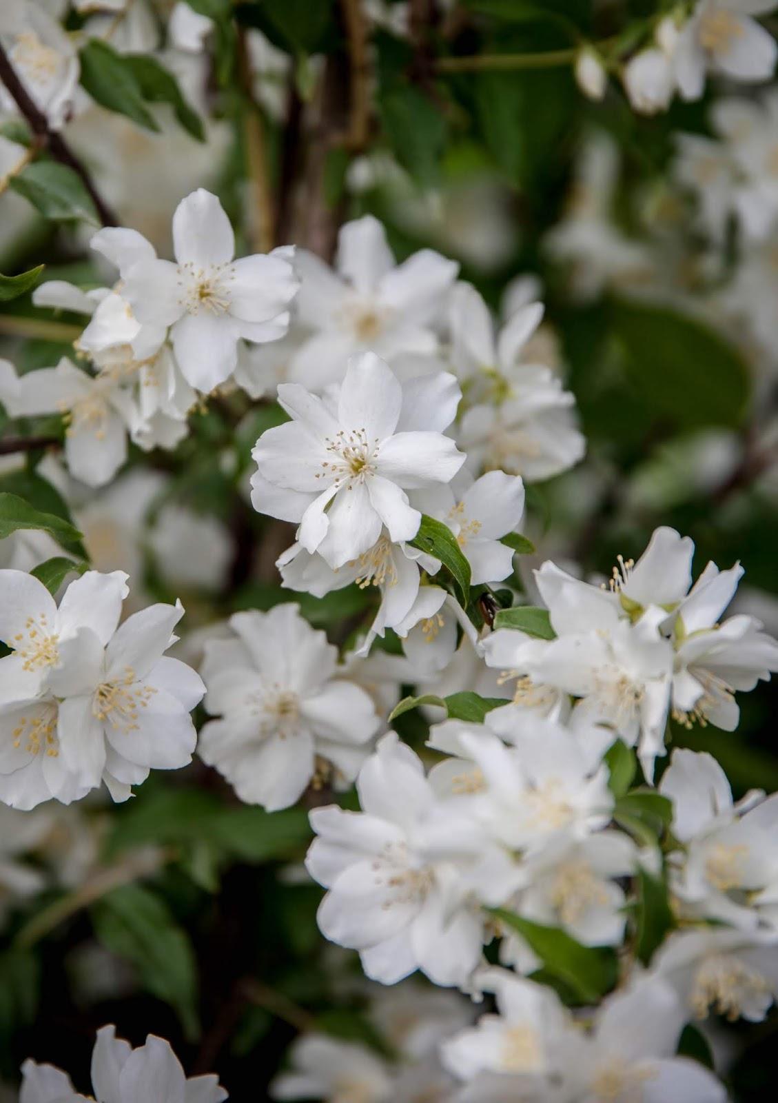 kukkivat puut