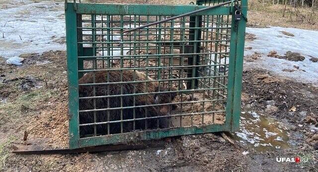 В Челябинской области местные жители в лесу наткнулись на медведя в клетке, которого использовали для натаскивания собак