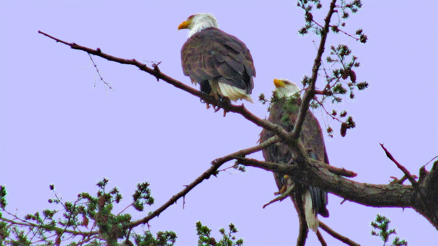 A pair of breeding eagles overhead on Galiano Island...