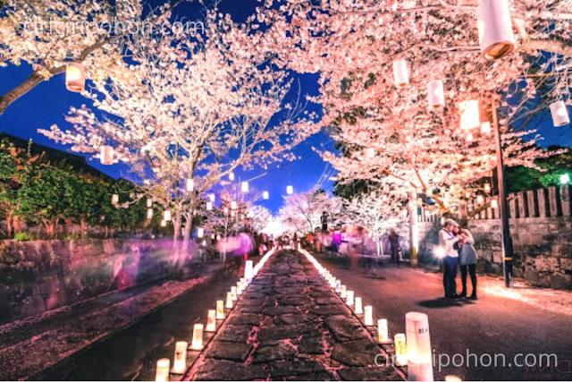 Ciri Ciri Pohon Sakura