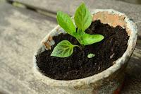 usaha bibit tanaman, biaya usaha bibit tanaman, bisnis bibit tanaman, usaha bibit tanaman, rincian biaya bibit tanaman, bibit tanaman, usaha buah-buahan