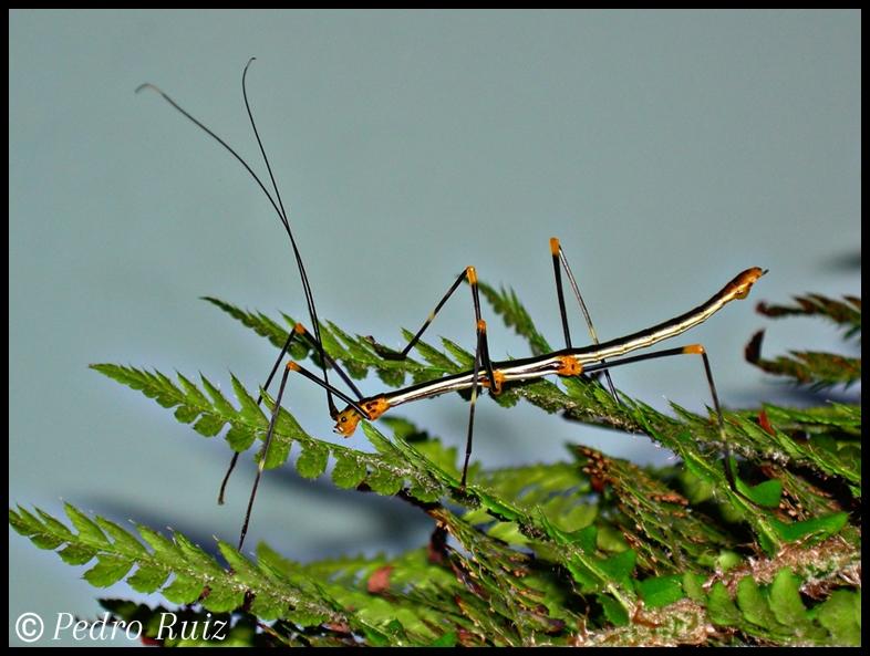 Ninfa macho L5 de oreophoetes peruana, 5 cm de longitud
