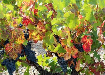 Viñedos, uva, otoño, Briones