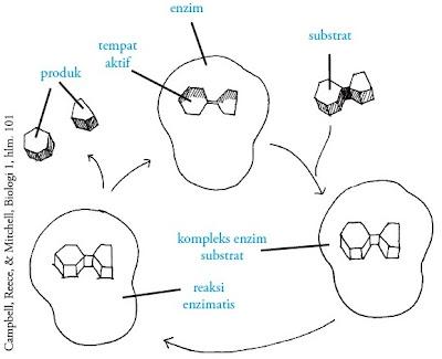 Prinsif kerja enzim teori gembok kunci