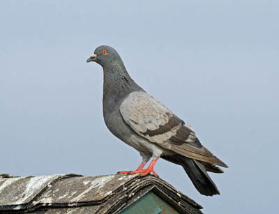 Photo of Rock Pigeon on roof