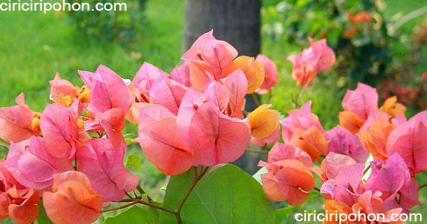 ciri ciri pohon bunga bougenville after glow