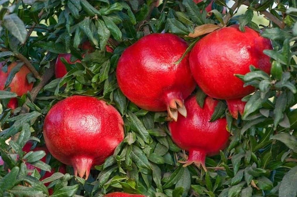 Bibit Tanaman Buah Delima Merah Delima Jumbo Unggul Cepat Berbuah Delima Giant Tarakan