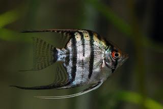 Jenis Ikan Zebra Angelfish