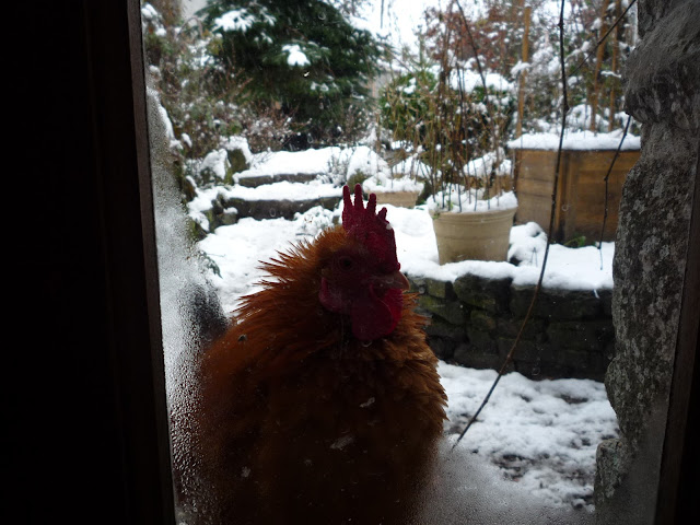 Fine feathered Frizzle in cold weather