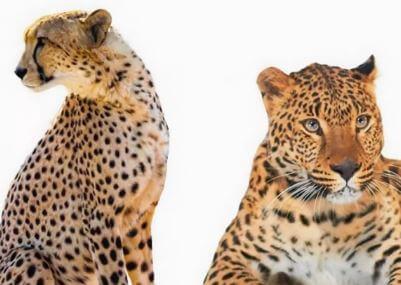 ما هي الاختلافات بين الفهود الآسيوية والفهود الأفريقية؟