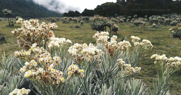 Edelweiss Jawa