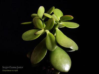 Suculenta Planta Jade - Crassula ovata