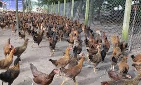 Usaha Ternak Ayam Kampung Modal Kecil