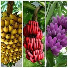 jenis jenis buah pisang