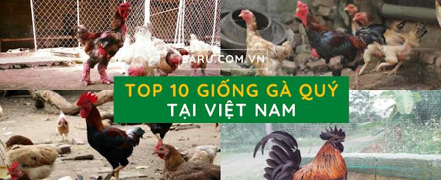Những giống gà quý hiếm ở Việt Nam