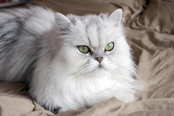 Contoh gambar kucing persia Flatnose