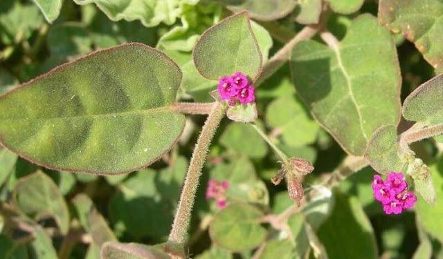 पुनर्नवा पौधा बीमार गुर्दे को कर सकता है स्वस्थ