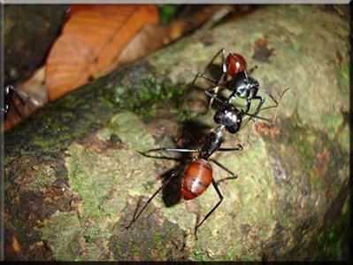 ✅siafu-hormigas-guerreras