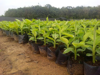 Bibit Tanaman unggul –Pisang Cavendish adalah jenis buah-buahan yang memiliki banyak manfaat. Pisang cavendis memiliki ciri-ciri pohon yang relatiF pendek sudah berbuah, yaitu sekitar 2 meteran.   Pohon pisang Cavendish cocok ditanam untuk wilayah tropis maupun sub tropis.