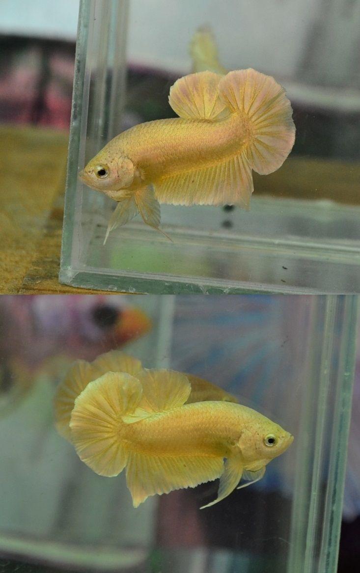 Plakat Gold Betta Fish Image