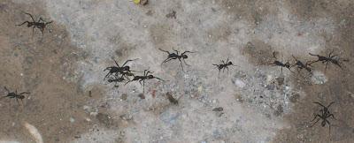 army ants antbirds