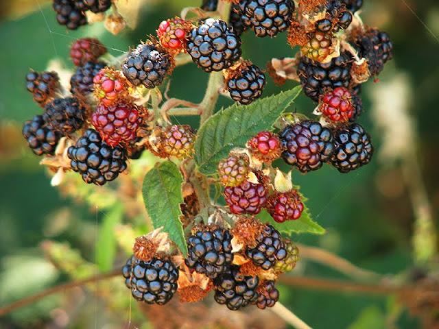 confiture de fruits sauvages comestibles - le carnet sur l'étagère