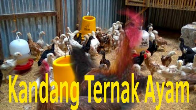Gambar Cara merawat Ternak Ayam Kampung
