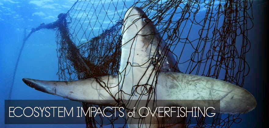 are the oceans being overfished essay Overfishing has been a consistently growing and detrimental environmental issue corrupting our oceans for years it is quite literally taking fish from the ocean at.