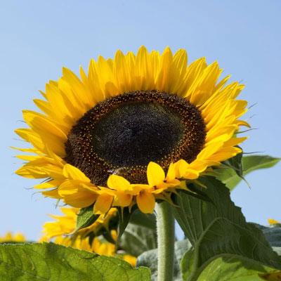 向日葵種子 單瓣品種太陽